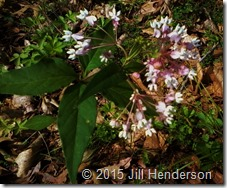 Four-leaved Milkweed (Asclepias) quadrifolia). Copyright Jill Henderson ShowMeOz.wordpress.com