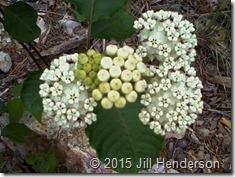 White Milkweed (Asclepias variegata). Copyright Jill Henderson