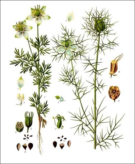 By Franz Eugen Köhler, Köhler's Medizinal-Pflanzen (List of Koehler Images) [Public domain], via Wikimedia Commons