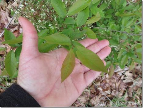 Wild Blueberry (Vaccinium stamineum) 2013 5-5 (8)