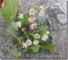Wild Blueberry (Vaccinium stamineum) 2013 5-5 (9)