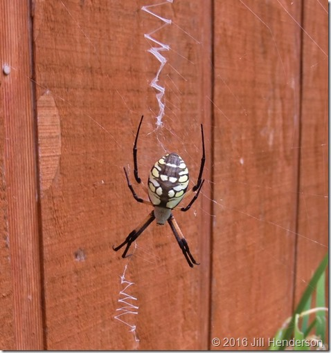 Yellow garden spider.