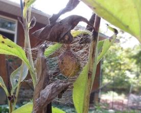 Yellow garden spider egg case.