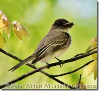 By Peter Wilton (Eastern Phoebe  Uploaded by Magnus Manske) [CC BY 2.0 (http://creativecommons.org/licenses/by/2.0)], via Wikimedia Commons