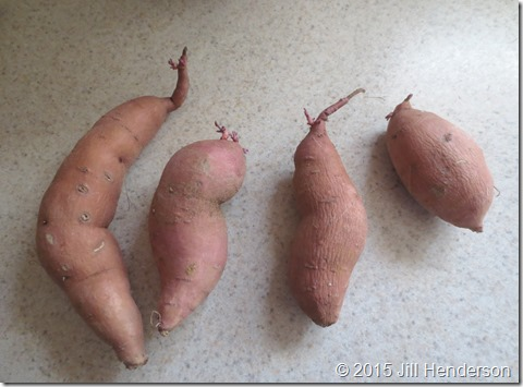Small sweet potatoes are perfect for pot culture of slips.