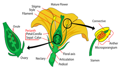 Diagram of a Flower