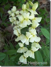 The creamy yellow pea-like flowers of Cream Wild Indigo. Photo Copyright Jill Henderson showmeoz.wordpress.com