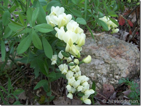 The generously flowering stems of Cream Wild Indigo (Baptisia bracteata). Photo Copyright Jill Henderson showmeoz.wordpress.com