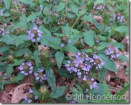 Heal-All (Prunella vulgaris) plant in bloom.  Photo copyright Jill Henderson showmeoz.wordpress.com