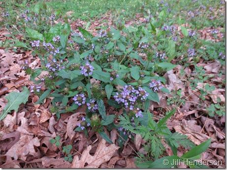 Heal-All (Prunella vulgaris) plant in bloom.  Photo copyright Jill Henderson showmeoz.wordpress.com