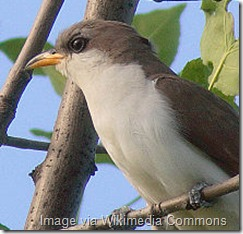 Mature Yellow-billed Cuckoo (Coccyzus-americanus) Image via By No machine-readable author provided. Factumquintus assumed (based on copyright claims). [GFDL (http://www.gnu.org/copyleft/fdl.html) or CC-BY-SA-3.0 (http://creativecommons.org/licenses/by-sa/3.0/)], via Wikimedia Commons
