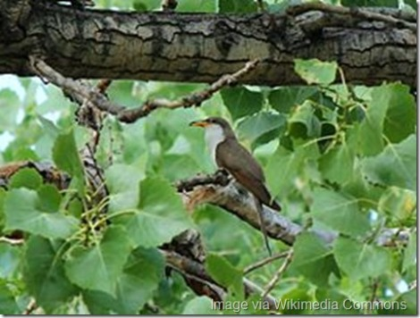 The Yellow-billed Cuckoo (rain crow) is difficult to spot in dense foliage. Image via By USFWS Mountain-Prairie (Western yellow-billed cuckoo) [CC BY 2.0 (http://creativecommons.org/licenses/by/2.0)], via Wikimedia Commons