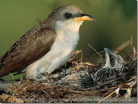 Yellow-billed Cuckoo with young. Image via the website what-when-how at http://what-when-how.com/birds/yellow-billed-cuckoo-birds/