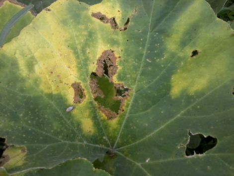 Diseases and damaged squash leaf.