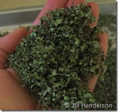 Freshly dried thyme the fast, easy and free way! Image copyright Jill Henderson