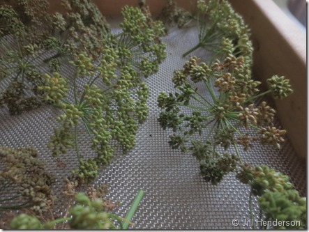 Drying parsley seed. Image copyright Jill Henderson ShowMeOz.wordpress.com