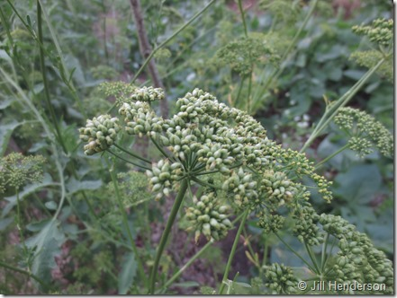 Parsley going to seed. Image copyright Jill Henderson-Show Me Oz.Wordpress.com