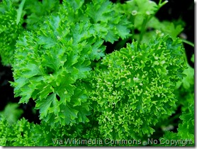 Curly parsley. Image via Wikimedia Commons No Copyright Via Ranveig