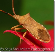 Squash Bug image by Katja Schulz from Washington, D. C., USA (Squash Bug) [CC BY 2.0 (http://creativecommons.org/licenses/by/2.0)], via Wikimedia Commons