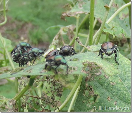 Japanese Beetles (1) damage