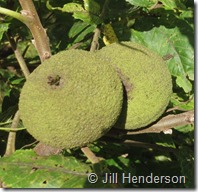Black walnuts on the tree. Image copyright Jill Henderson showmeoz.wordpress.com