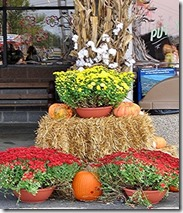 Mums are often used to dress up seasonal displays.