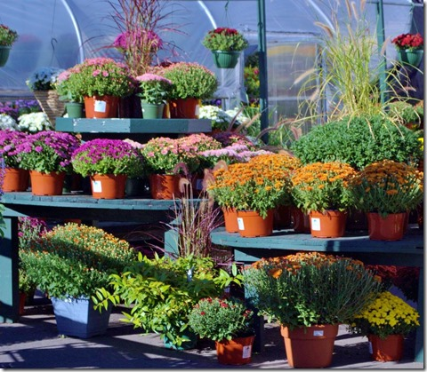 Mums are sold everywhere in the fall.