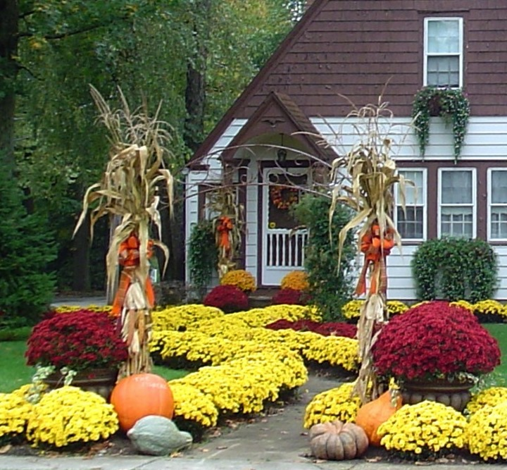 Dont toss those mums show me oz mums can be perennial show stoppers in the garden mightylinksfo