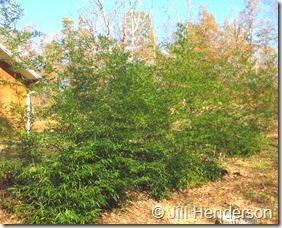 Bamboo Goes Berserk Copyright Jill Henderson showmeoz.wordpress.com