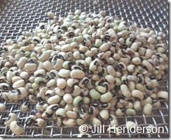 Seed Saving sorting black-eyed peas using seed screens.  Image copyright Jill Henderson showmeoz.wordpress.com