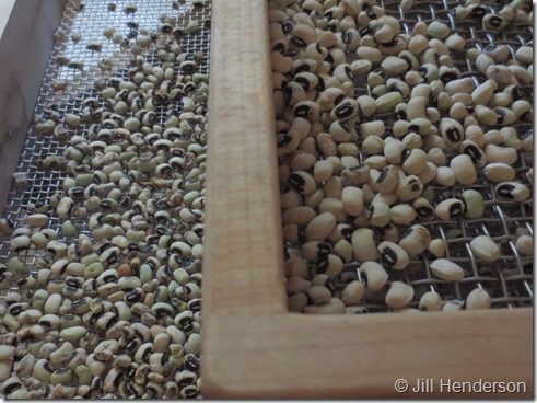 Seed Saving sorting black-eyed peas (6)