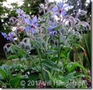 Herb Borage flowering (4)
