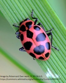 Pink Ladybug - Coleomegilla maculata