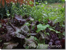 Garden crops are interplanted with cover crops such as buckwheat to increase diversity. Photo copyright Jill Henderson