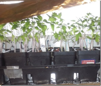 Seedling Window Set Up (11)
