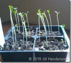 Seedlings leggy