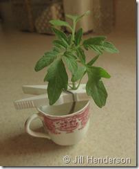 Tomato rooting broken seedling (1) day 1