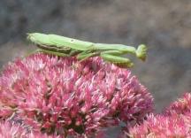 Praying mantis on sedum flower. Image copyright Jill Henderson All Rights Reserved showmeoz.wordpress.com